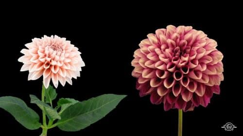 Flowers Opening Time-Lapse | Beautiful Time-Lapse Video | Abakcus