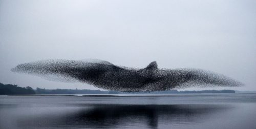 Starlings Making the Shape of a Bird | Video | Abakcus