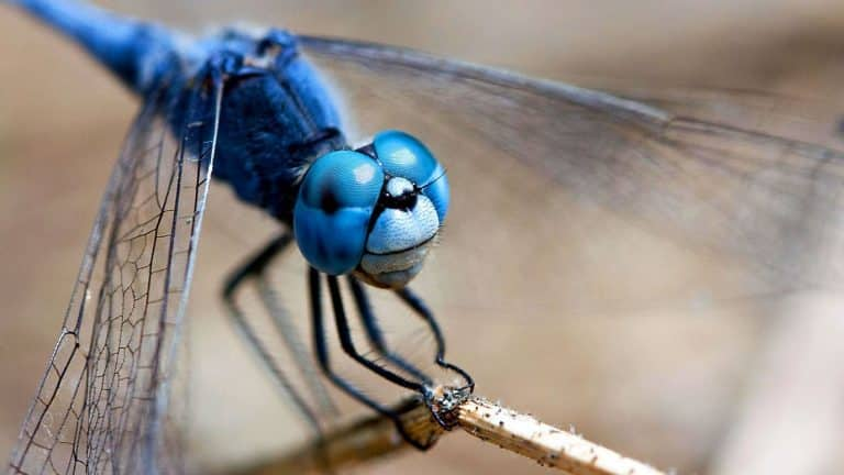 How Do Dragonflies See the World? | Video | Abakcus