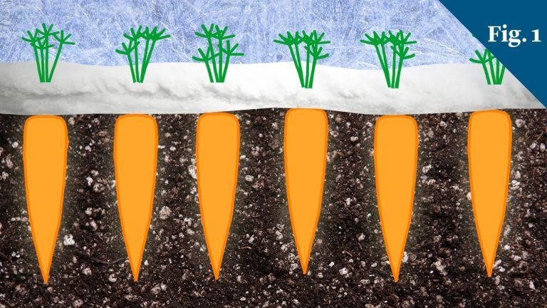 Why Carrots Taste Sweeter In Winter | Video | Abakcus