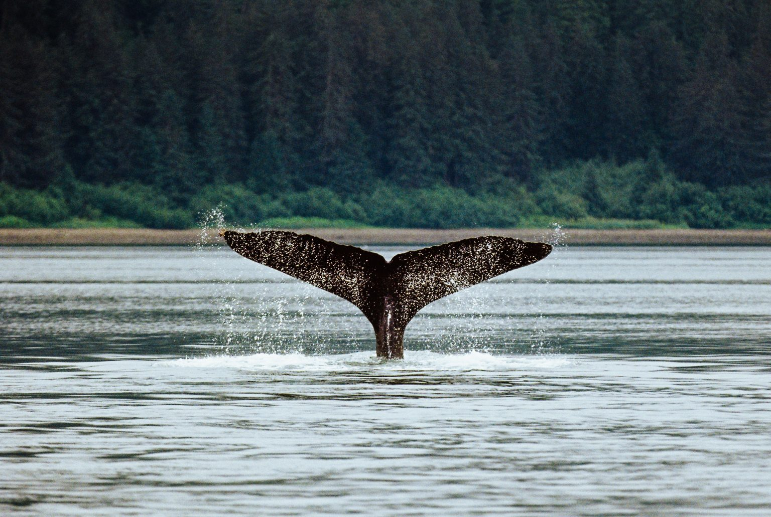Why Whales Got So Big?   Article   Abakcus