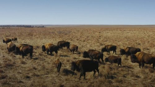 How Bison Are Saving America's Lost Prairie? | Video | Abakcus